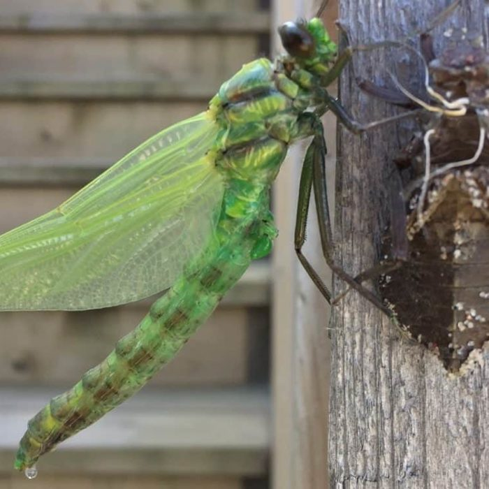 Dragonfly just hatched
